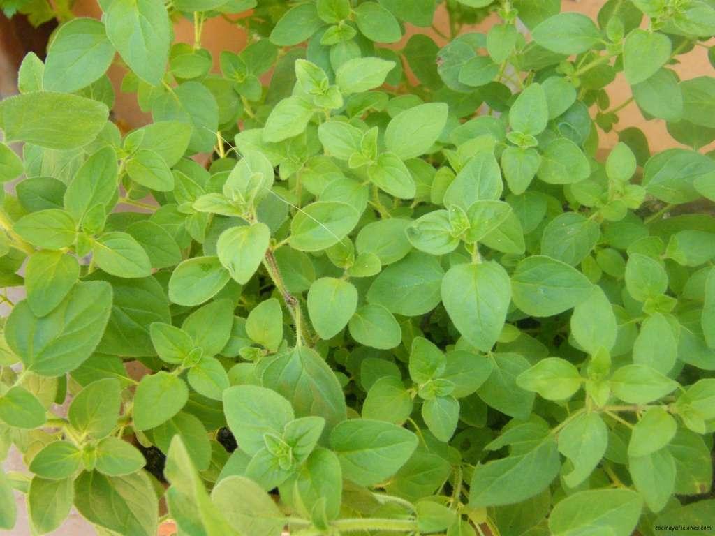 El orégano, una hierba muy utilizada.