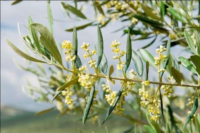 olivo royal en flor