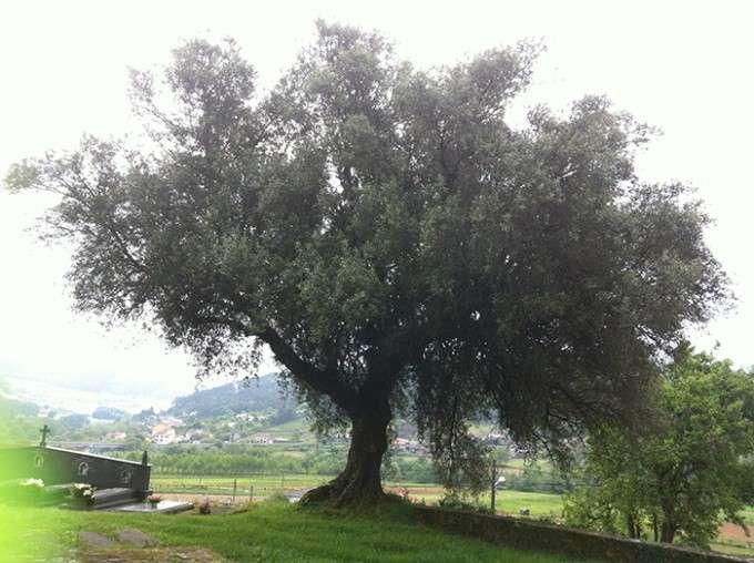 olivo brava 2