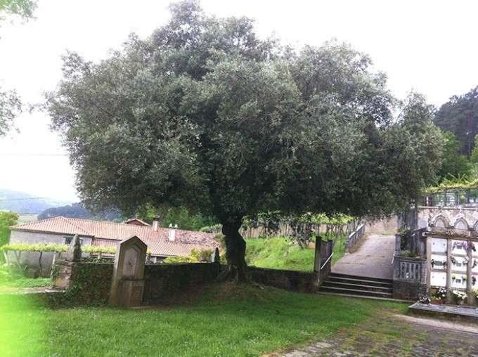 olivo brava