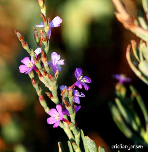salicornia en flor cristian jensen
