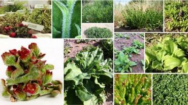 Verduras del desierto, esas desconocidas. Introdución.