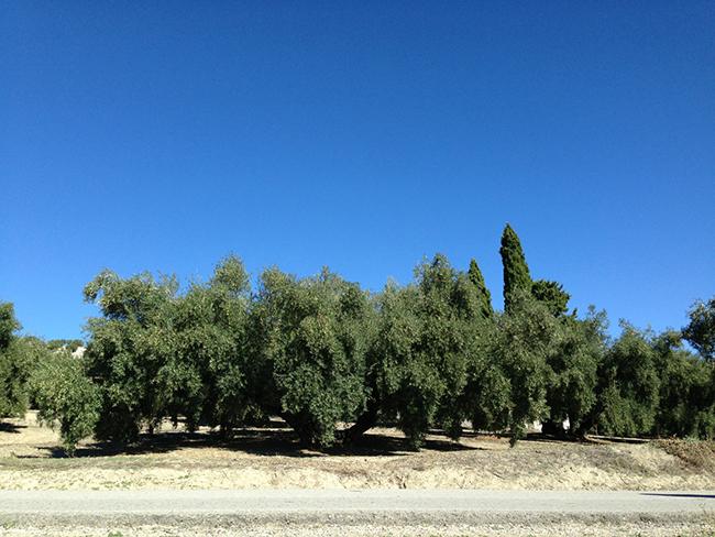 olivos consentido (1)