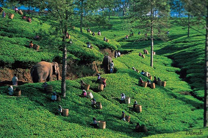 El proceso de las hojas de té, desde la planta a mi taza, apuntes.