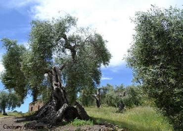 Historia del Aceite de oliva: los orígenes, apuntes.