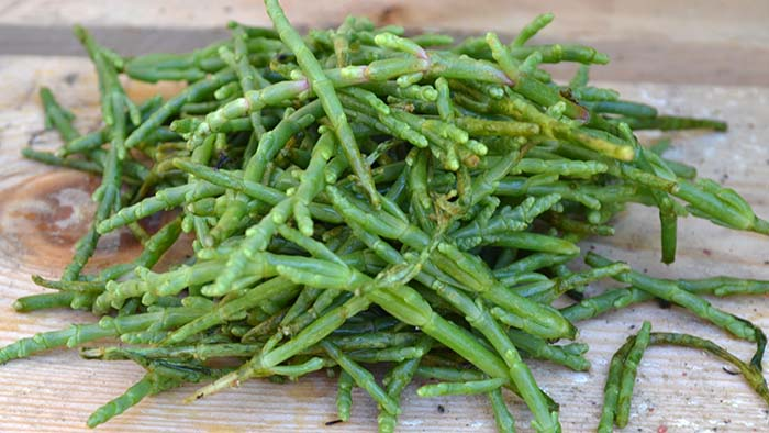 salicornia (2)