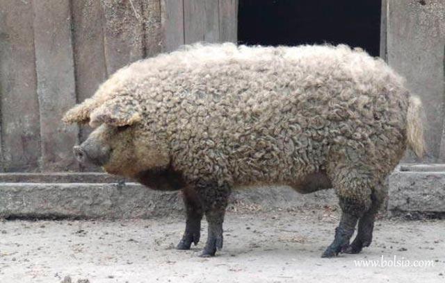 cerdo-mangalica