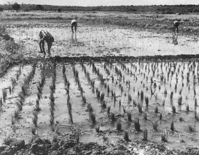 cultivando-arroz