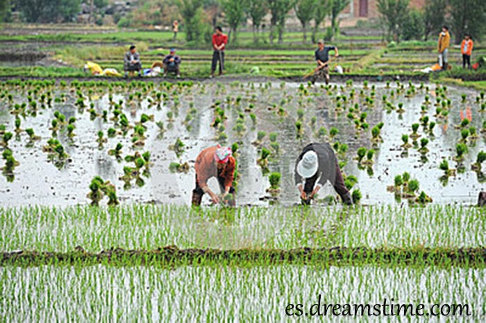 los-granjeros-chinos-no-identificados-trabajan-difícilmente-en-campo-del-arroz-31161184