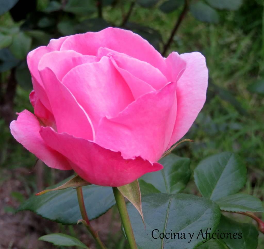 rosa 9
