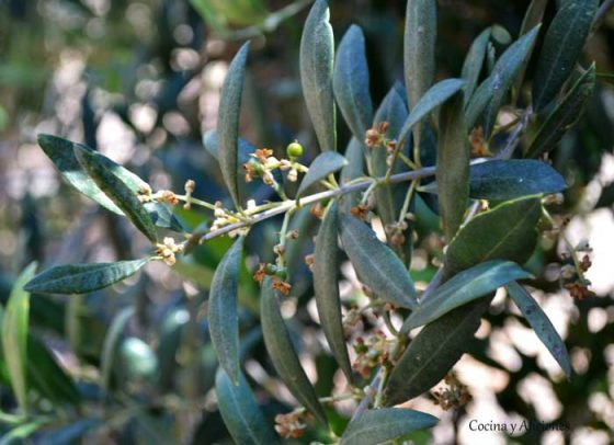 aceitunas-olivar-1