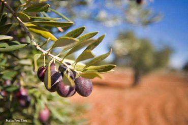 el aceite de oliva, apuntes.