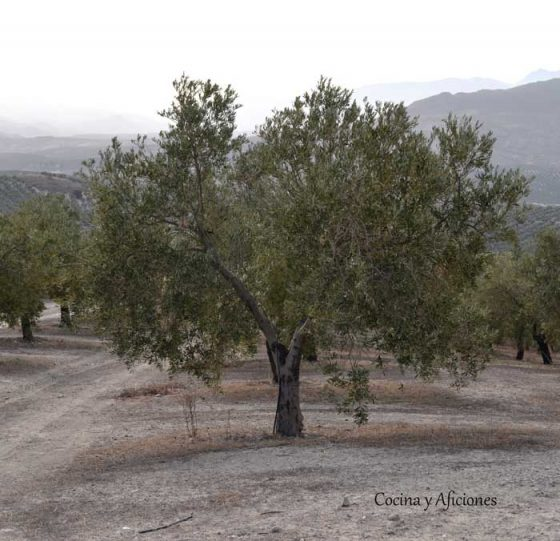 olivo-1