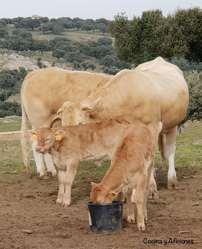 vaca blonda en el campo