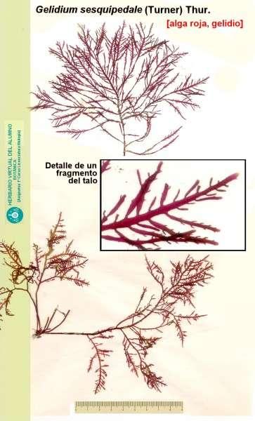 Gelidium sesquipedale