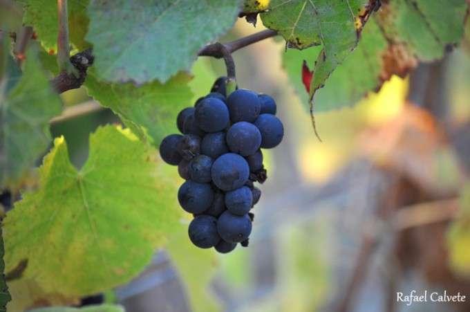 Racimo de uvas Pinor Noire de Borgoña ok