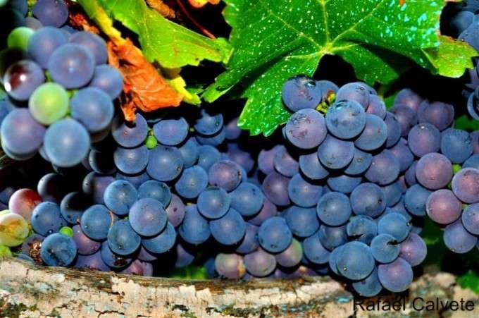 Racimos de uvas Mencía en la parra (Medium)