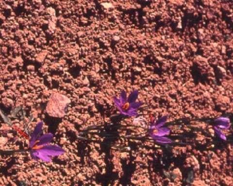 Rosas de azafrán en medio del campo