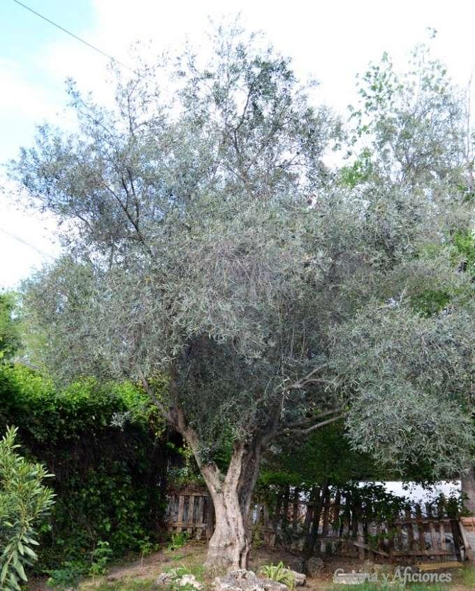 mi-olivo