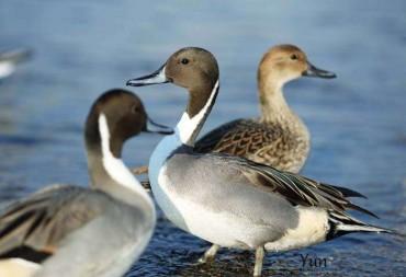 Los patos y el foie gras  (parte 2ª): su historia, apuntes.