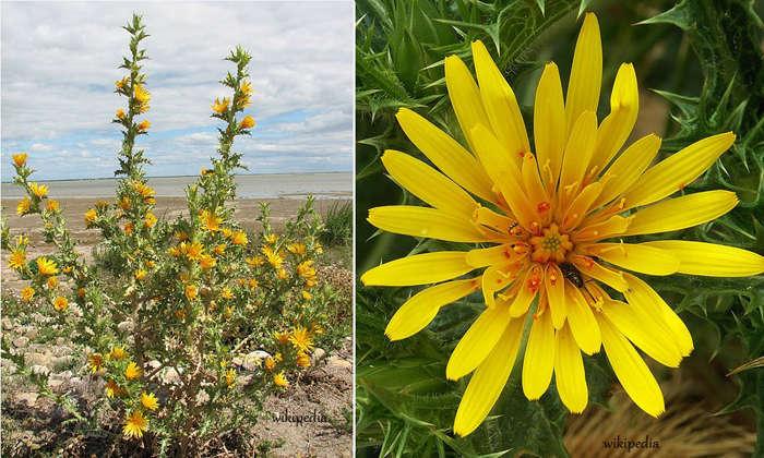 planta y flor cardillo