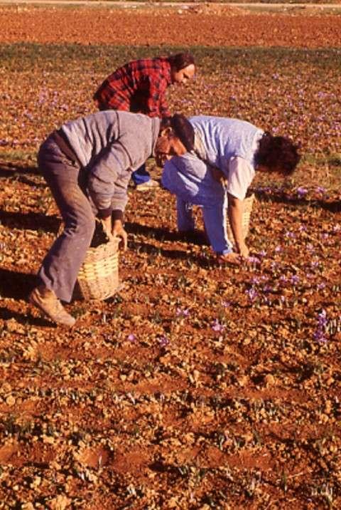 recogiendo la rosa de azafrán