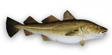 Skrei, el bacalao de Noruega. Apuntes.