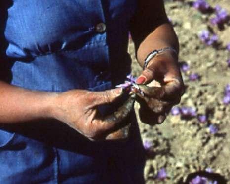 una mujer selecciona rosas de azafrán