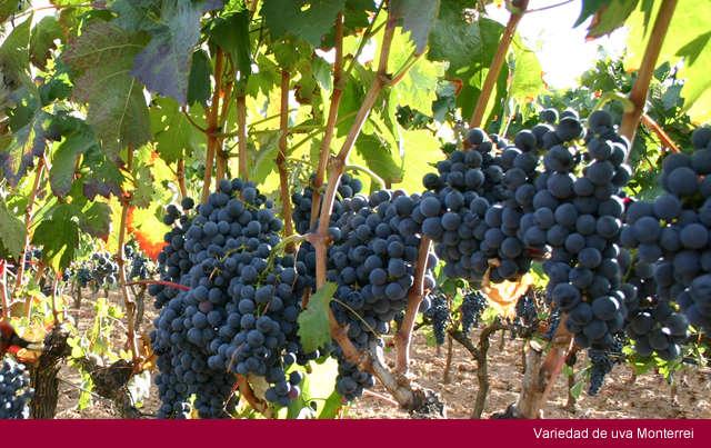uvas de monterrei